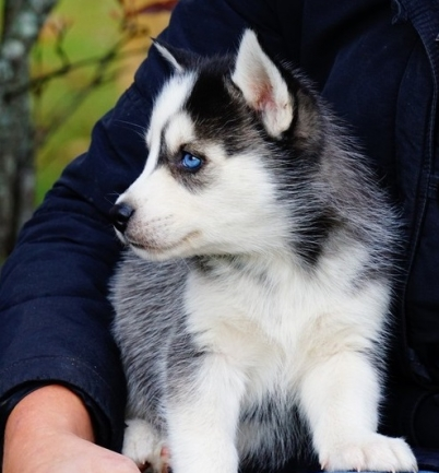Blue Eyes Siberian Husky Puppies For Sale 35212 Puppies And Pets Houston